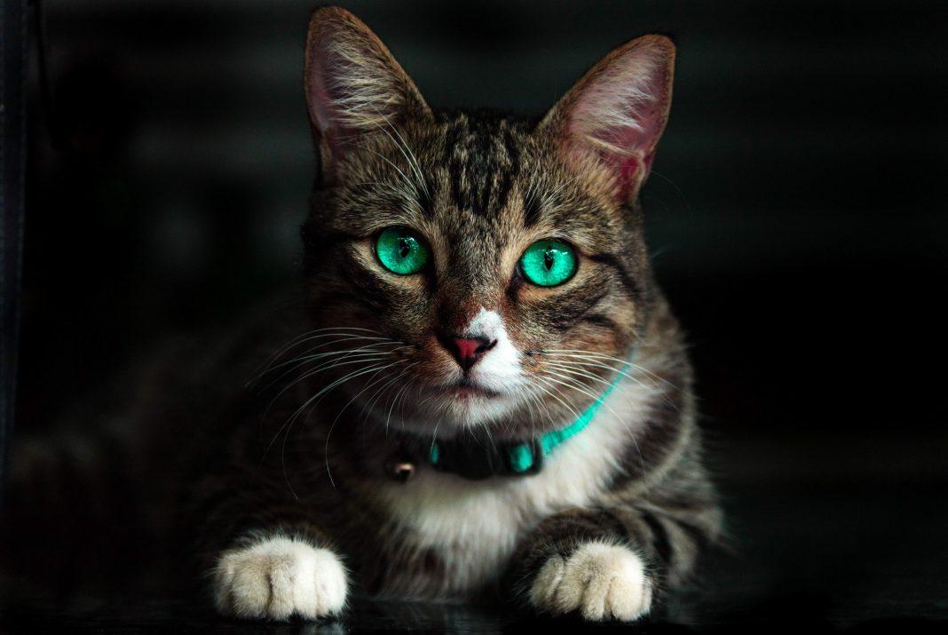 Macka sa zelenim ocima