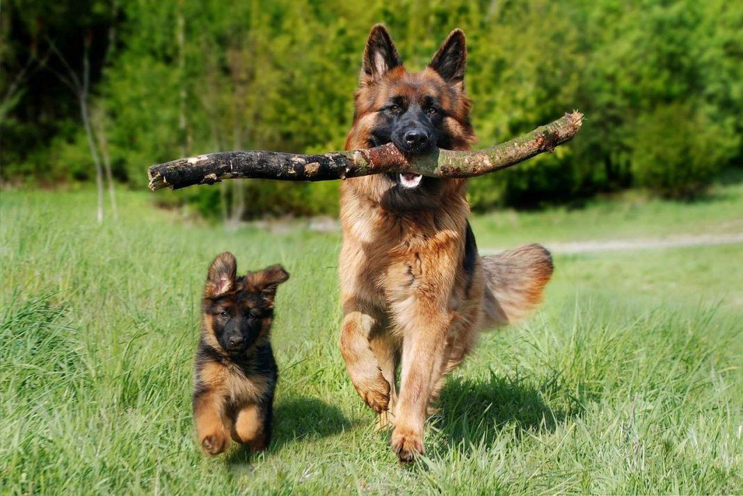 Dva psa trče