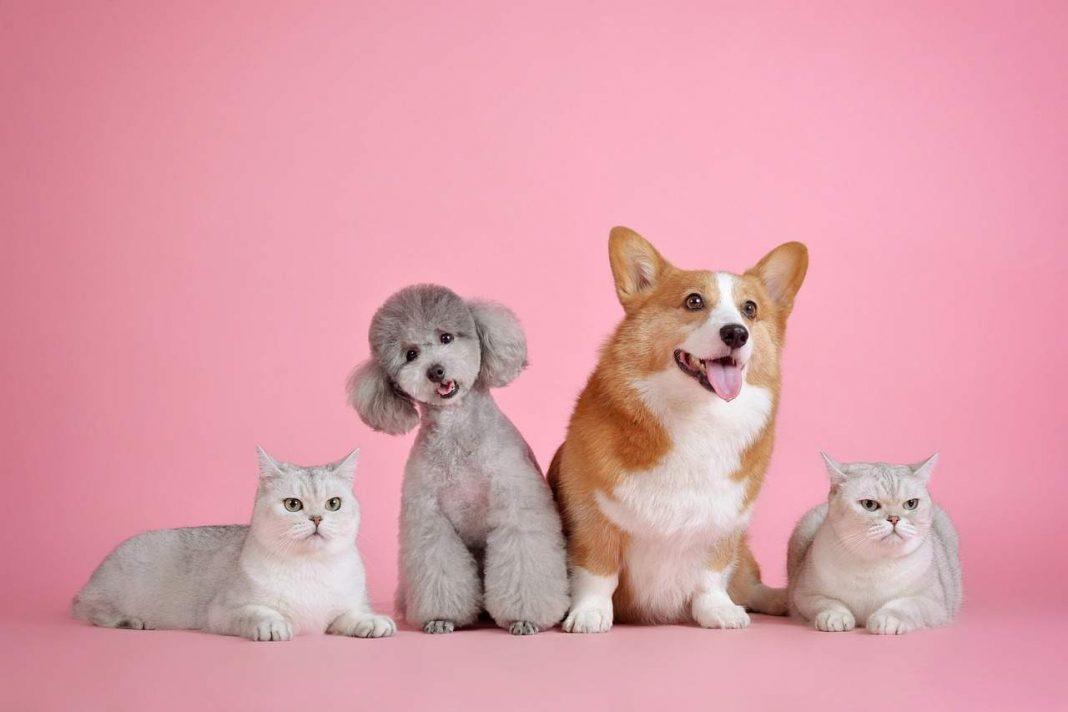 dva psa i dvije mačke sjede, a iza njih je roza pozadina