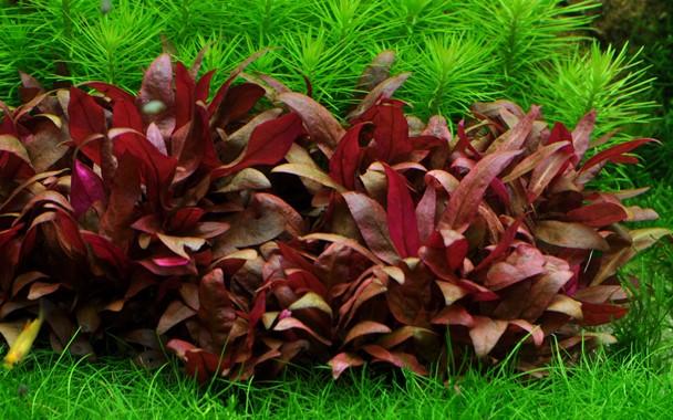Biljka crvenih listova na dnu akvarijuma, a okružena je zelenom biljkom