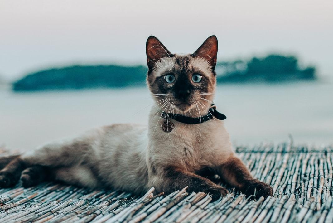 Sijamska mačka leeži na bambusnoj podlozi