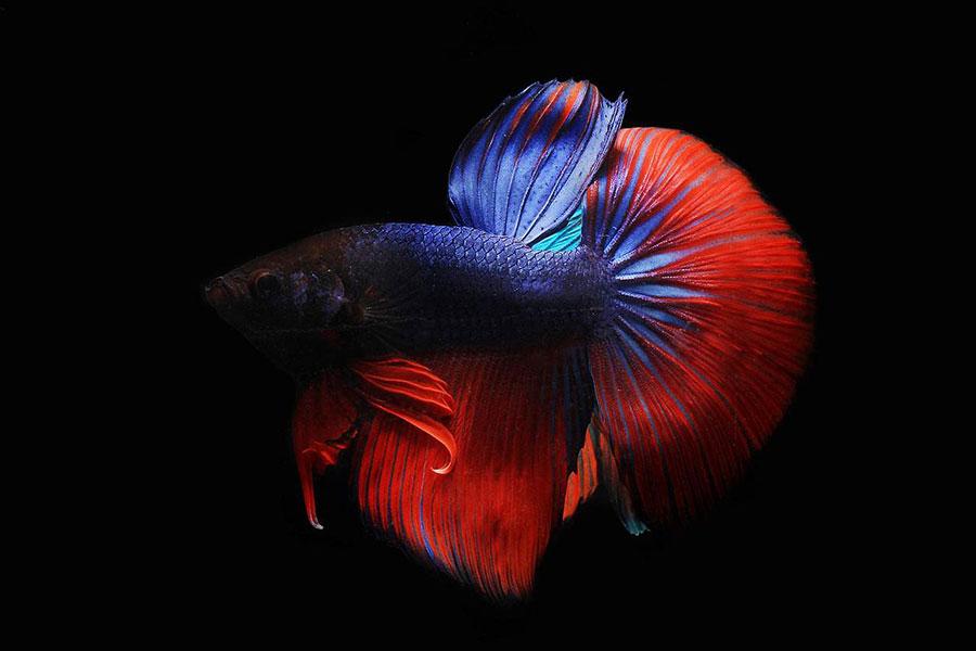crveno plavi borac na crnoj pozadini
