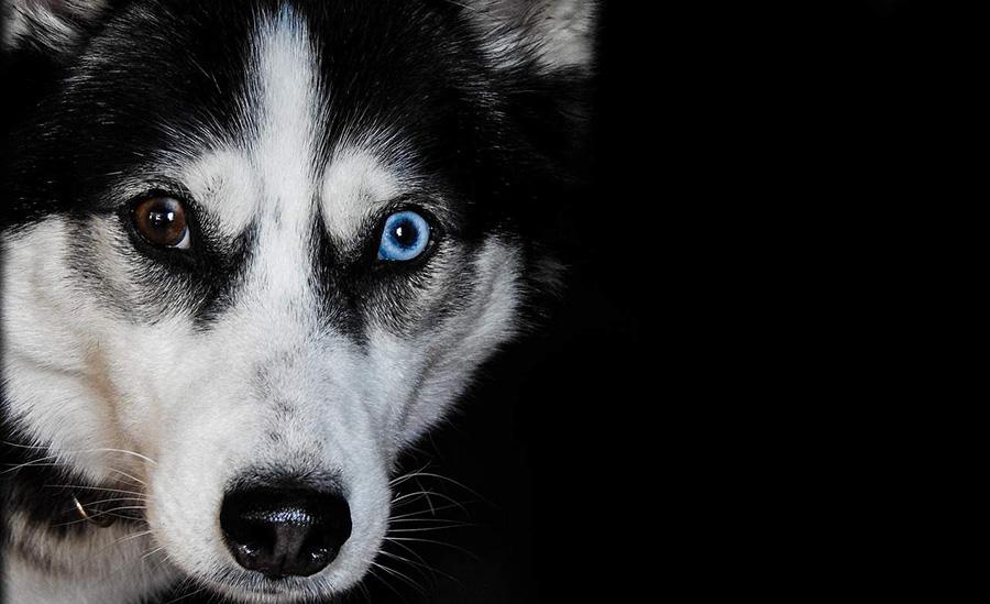 glava crno - bijelog sibirskog haskija sa jednim smeđim i jednim plavim okom