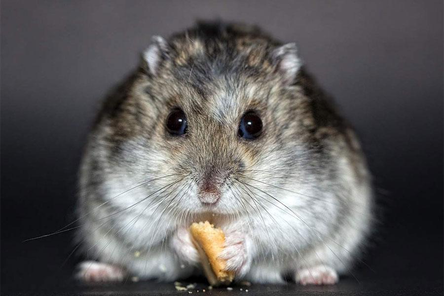 sivo bijeli hrčak drži u rukama drži poslatiscu i jede
