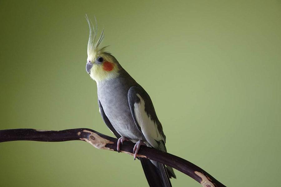 Siva Ptica nimfa sa žutom ćubom stoji na grani