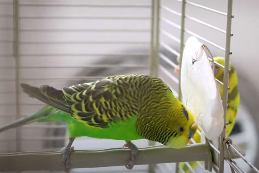 zeleni papagaj kljucka sipinu kost koja je zakačena na kavez