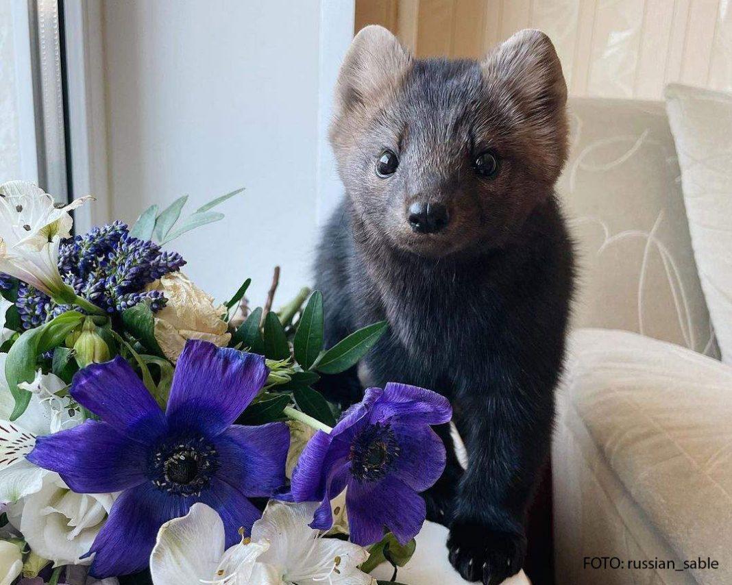 Mali smeđi samur stoji pored ljubičastog cvijeća