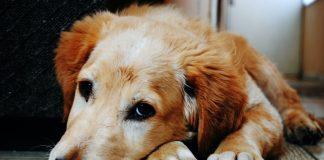 Pas tužno gleda