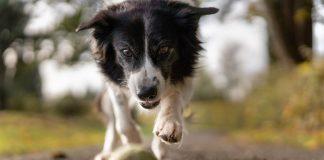 pas se igra sa teniskom lopticom
