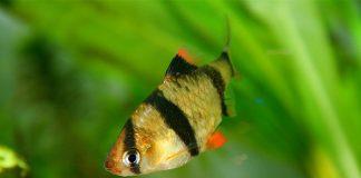 smeđe žuta ribica sa crnim prugama i cvenim dijelovima na perajama u akvarijumu