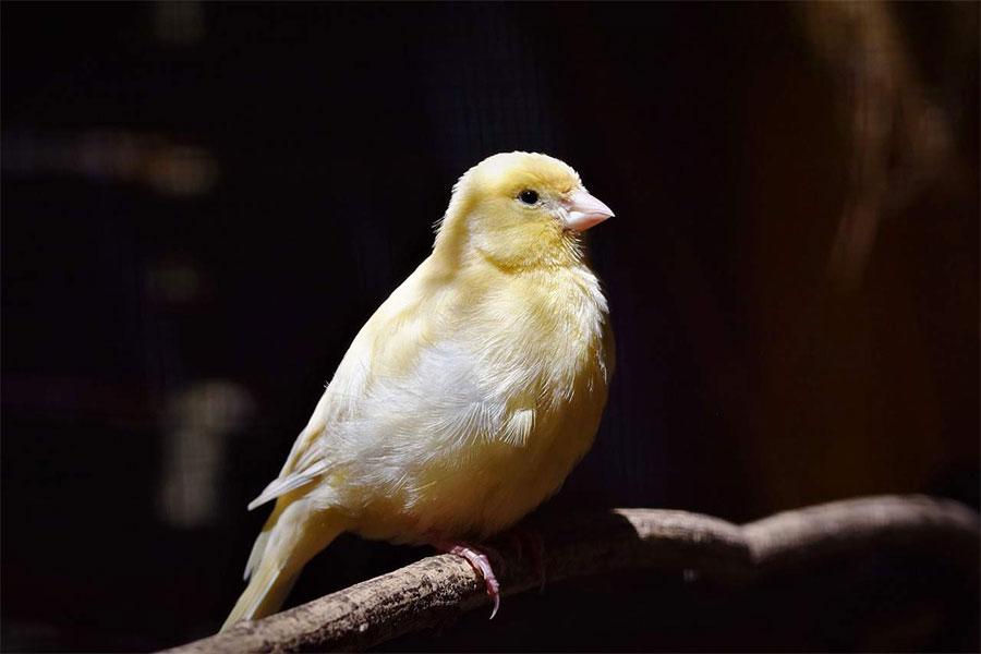 žuta ptica kanarinac stoji na grani