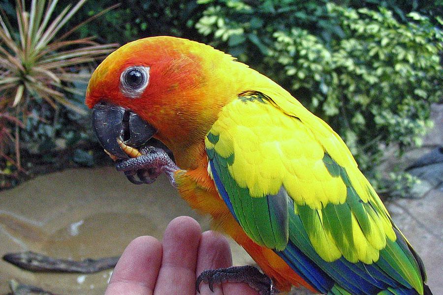 papagaj aratinga