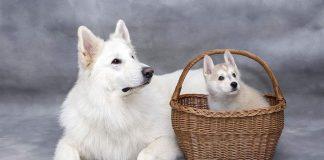 veliki bijeli pas leži a pored njega mali bijeli pas sjedi u kopri