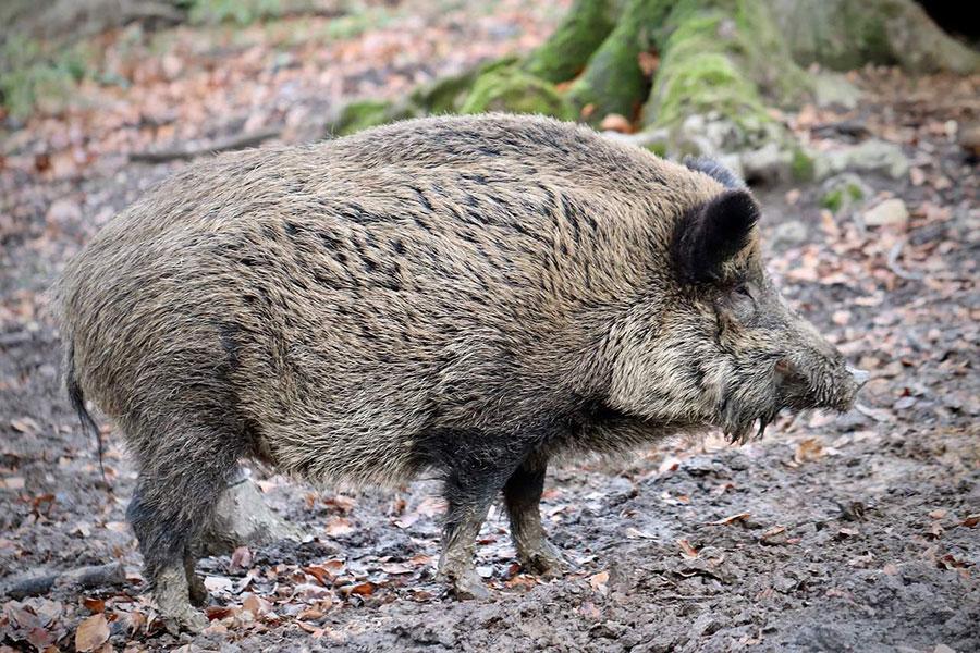 divlja svinja u šumi