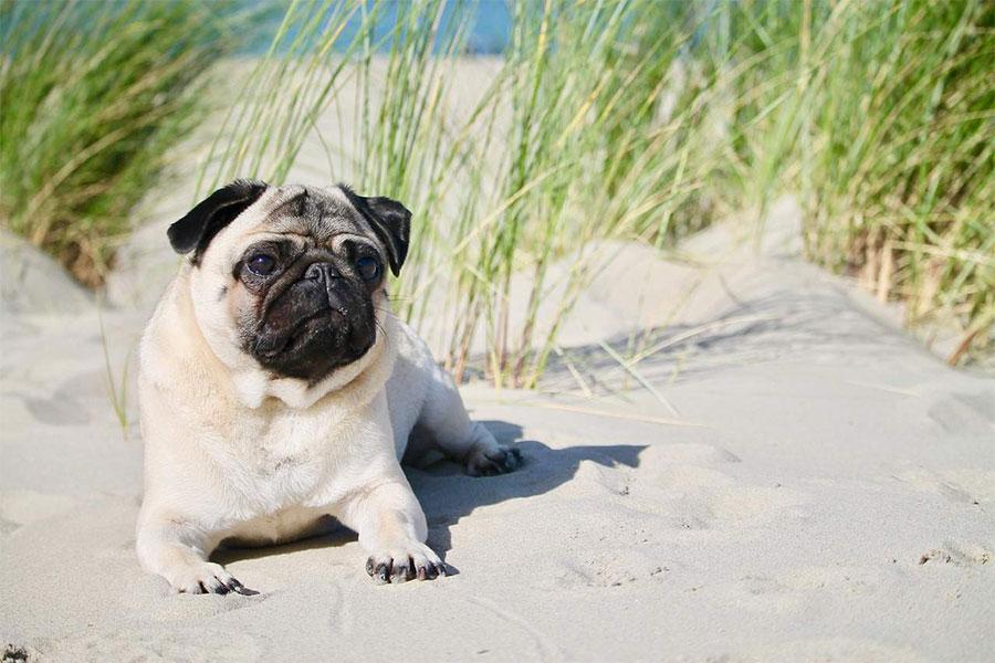 mops leži na pijesku na plaži
