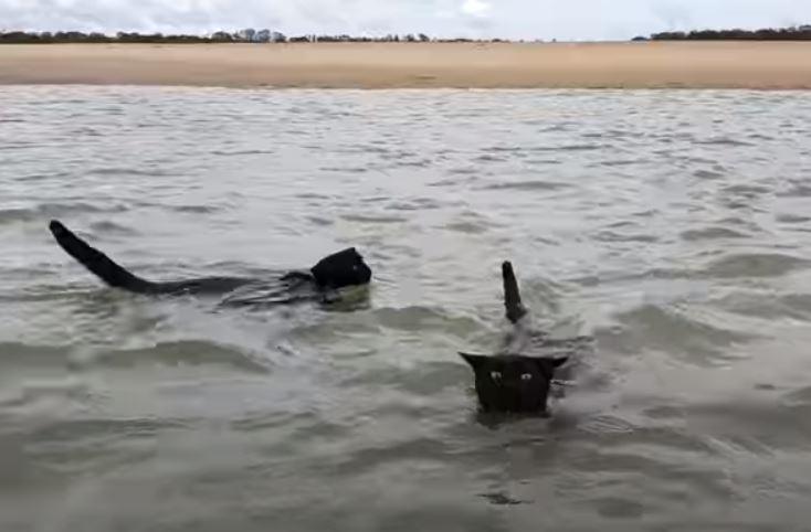 dvije crne mačke plivaju u okeanu