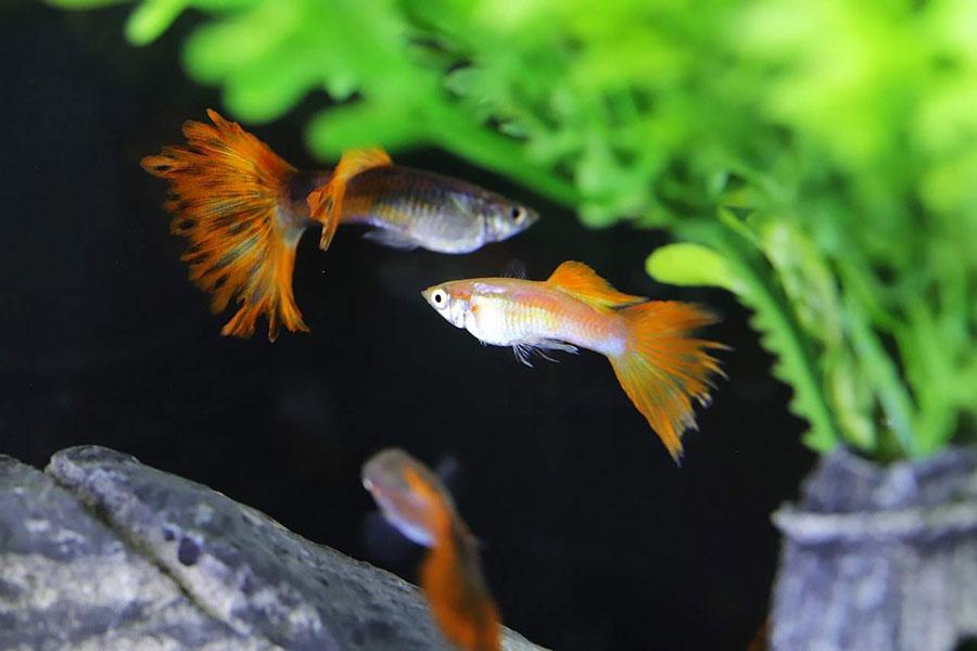 tri tropske ribice u akvarijumu