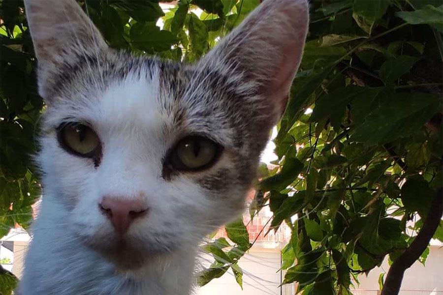 sterilizacija mačaka u Banjaluci - sivo bijela mačka