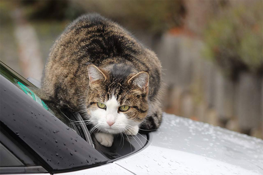 mačka na haubi automobila