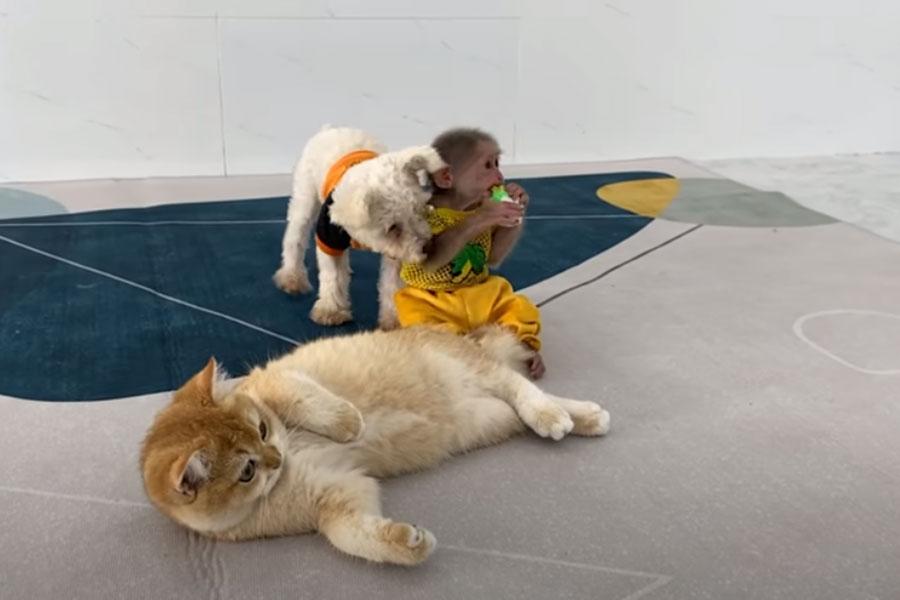 majmun, pas i mačka se igraju