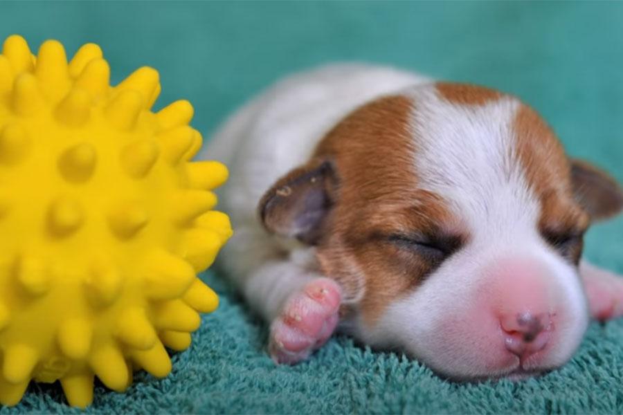 štene džek rasel terijera leži pored žute loptice