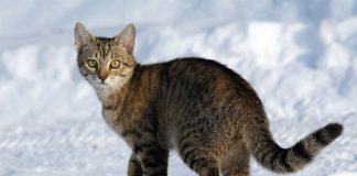 pruge mačaka - tabi mačka stoji na snijegu