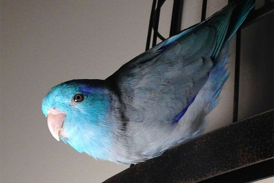 plavi vrapcoliki papagaj