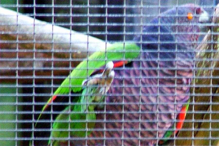 dominikanski amazon u kavezu
