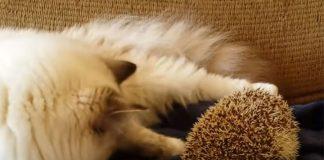 bijela mačka pokušava da dodirne ježa