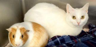 mačka i zamorac leže jedno pored drugog na plavom ćebetu
