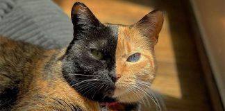 mačka sa dva lica - Venus je jedan dio lica crn a drugi narandžast